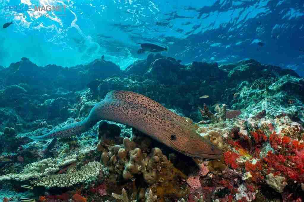 Moray Eel Komodo